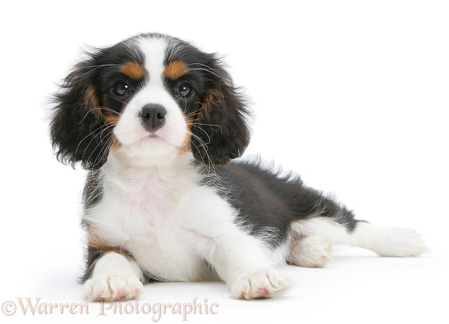 Tricolour Cavalier King Charles Spaniel pup, lying with head up, white background