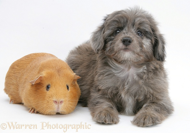 Shetland Sheepdog x Poodle pup, 7 weeks old, with Guinea pig, white background