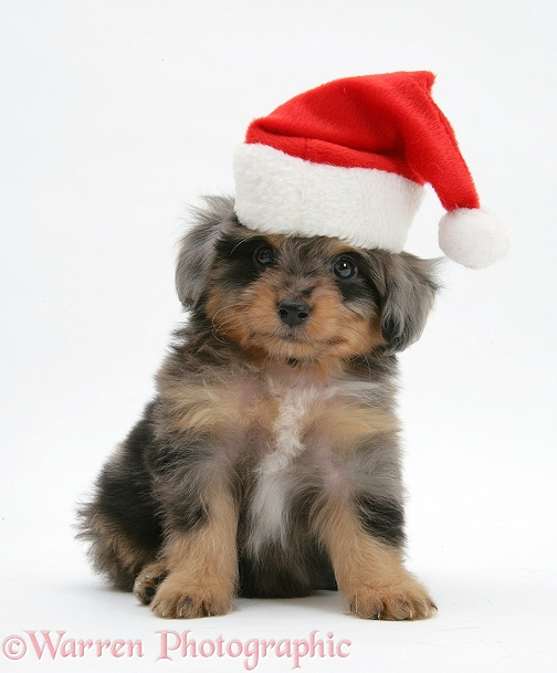 Shetland Sheepdog x Poodle pup, 7 weeks old, wearing a Father Christmas, white background