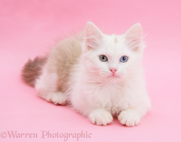 Birman x Ragdoll kitten, Willow, 3 months old