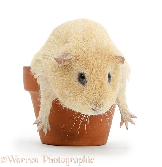 Yellow guinea pig in a flowerpot, white background