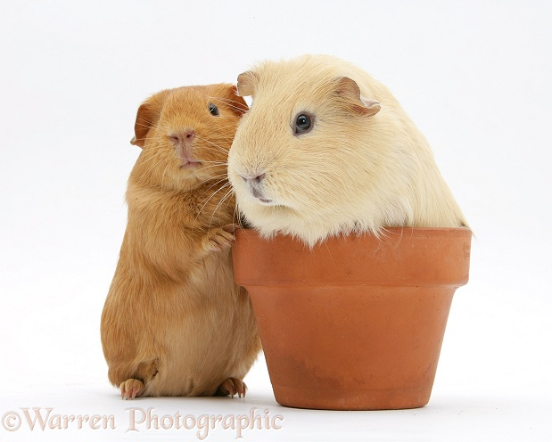 Red and yellow guinea pigs with a flowerpot, white background