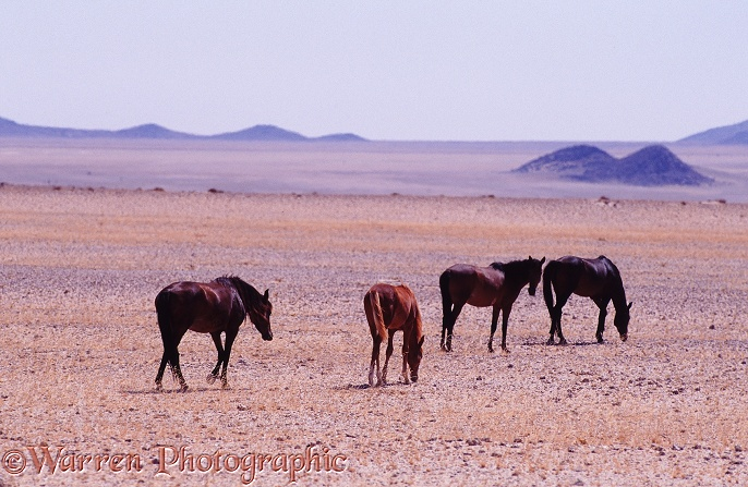 Wild horses on the plains near Aus, southern Namibia 1995