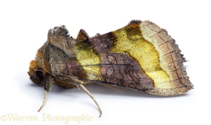 Burnished Brass Moth (Diachrysia chrysitis).  Europe, white background
