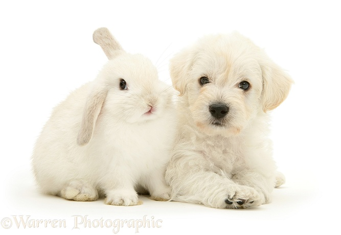 Woodle (West Highland White Terrier x Poodle) pup and white rabbit, white background