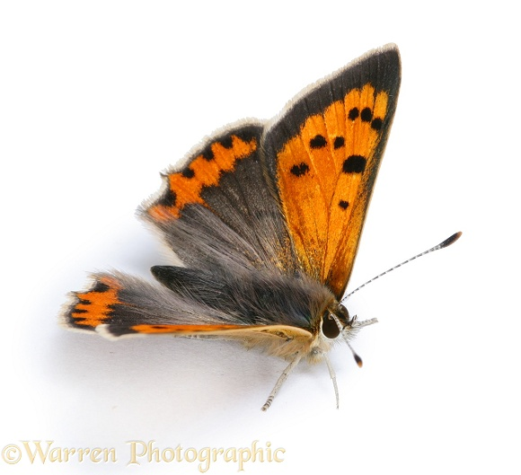 Small Copper Butterfly (Lycaena phlaeas).  Europe, white background