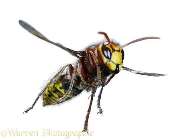 European Hornet (Vespa crabro) worker flying with middle and hind legs extended ready to attack and sting an intruder threatening the nest.  Europe, white background