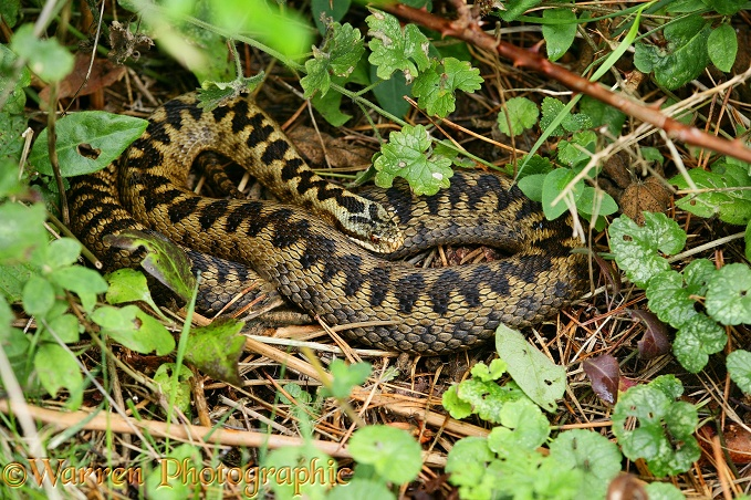 Adder (Vipera berus) female basking in hazy September sun.  Europe & Asia