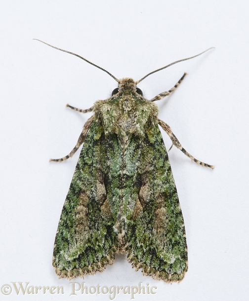 Brindled Green Moth (Dryobotodes eremita).  Europe, white background