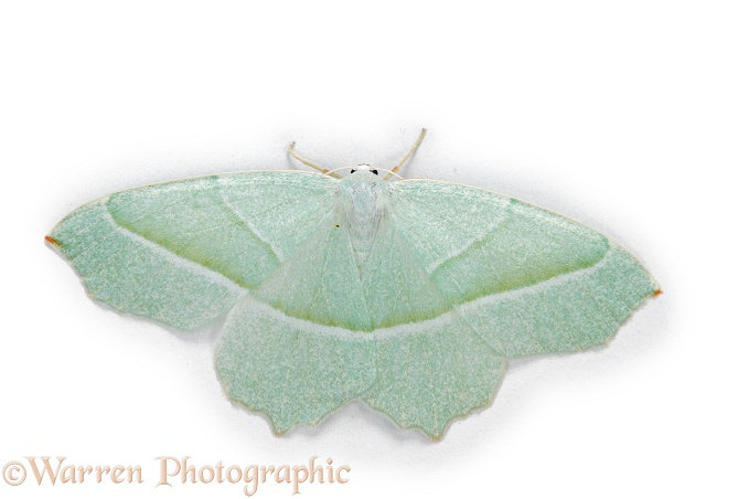 Light Emerald Moth (Campaea margaritata).  Europe, white background
