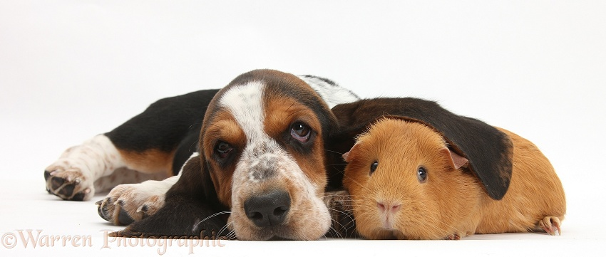 Basset Hound pup, Betty, 9 weeks old, with ear over a red guinea pig, white background