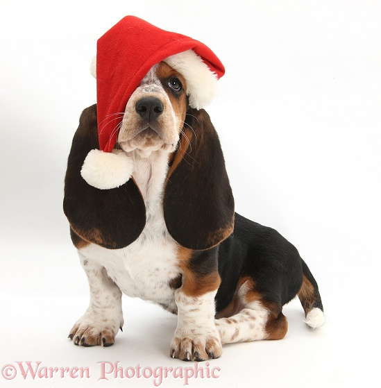Basset Hound pup, Betty, 9 weeks old, wearing a Father Christmas hat, white background