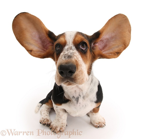 Basset Hound pup, Betty, 9 weeks old, with ears up, white background