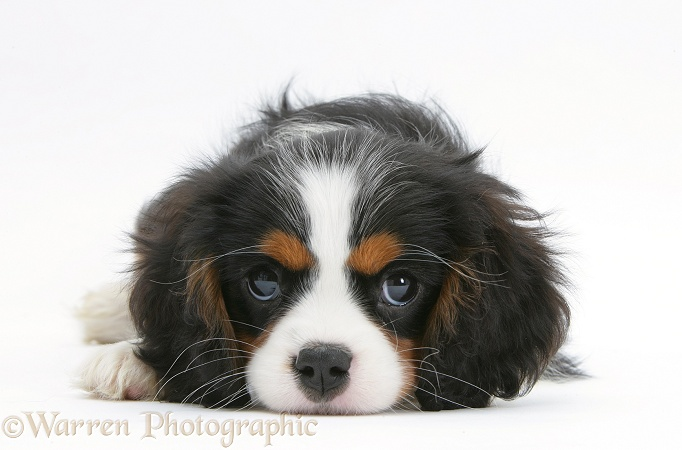 Tricolour Cavalier King Charles Spaniel pup, lying with chin on floor, white background