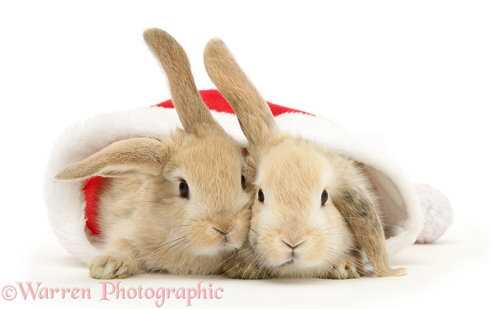 Two sandy Lop rabbits in a Father Christmas hat, white background