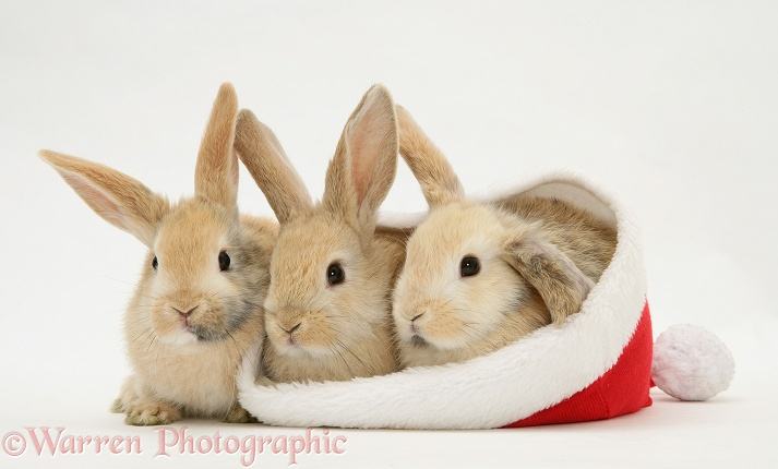 Two rabbits in a Santa hat photo - WP20516