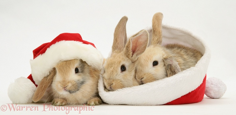 Three sandy Lop rabbits with Father Christmas hats, white background