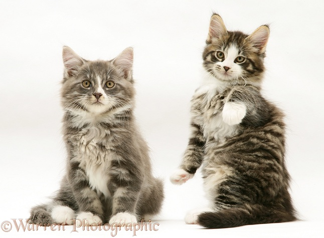 Tabby-and-white Maine Coon kittens, 8 weeks old, white background