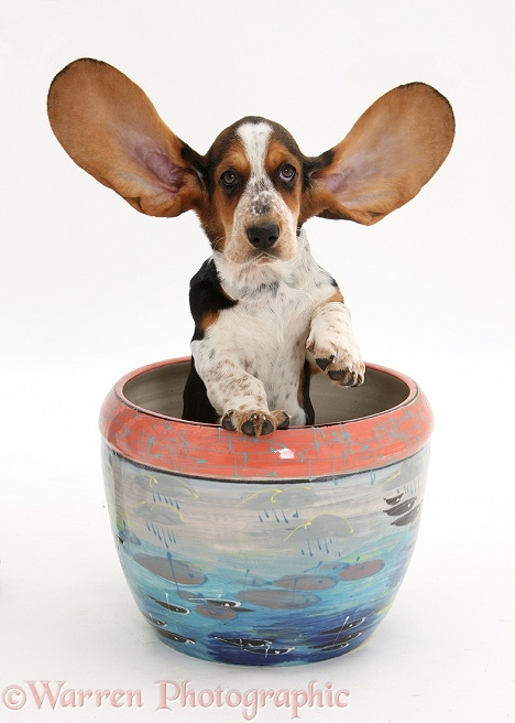 Basset Hound pup, Betty, 9 weeks old, with ears up in a plant pot, white background