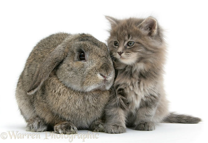 Maine Coon kitten, 7 weeks old, with agouti Lop rabbit, white background