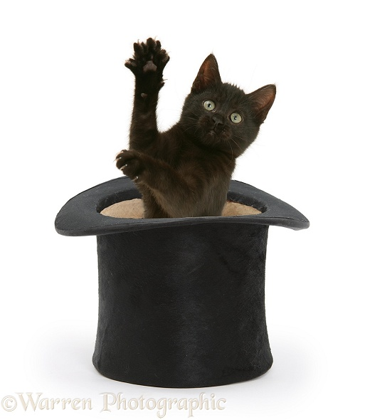 Black kitten, Charkle, 10 weeks old, popping out of a black top hat, white background