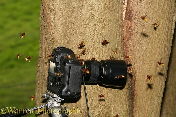 European Hornet (Vespa crabro) workers attacking camera placed close to nest in a tree hollow.  Europe