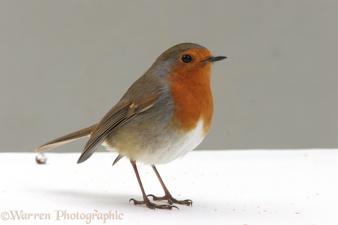 European Robin (Erithacus rubecula), white background