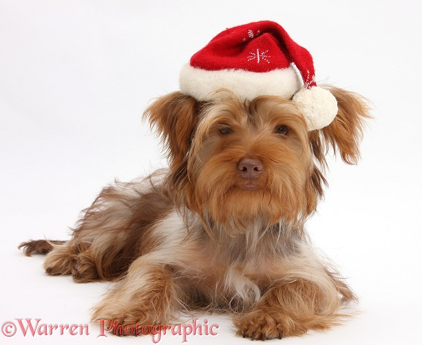 Yorkshire Terrier x Poodle pup, Swede, with Father Christmas hat on, white background