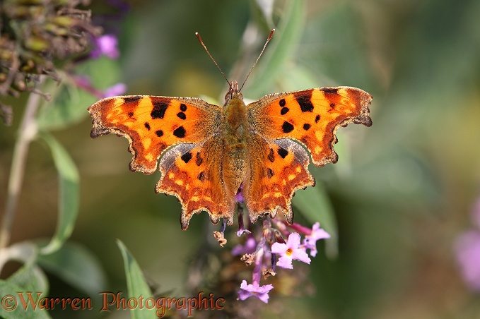 Comma Butterfly (Polygonia c-album) on buddleia