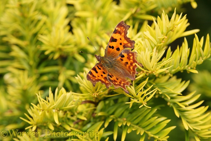 Comma Butterfly (Polygonia c-album) on yew.  Europe, Asia and N. America