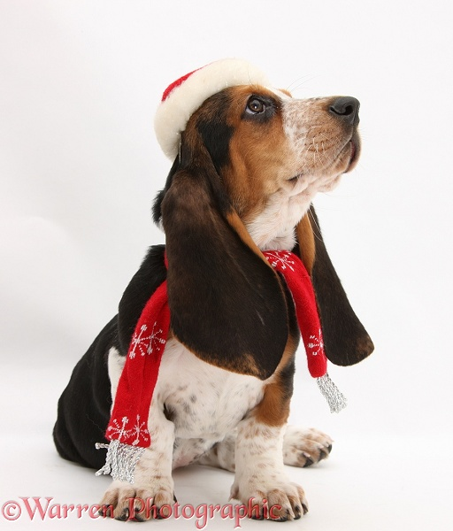Basset Hound pup, Betty, 9 weeks old, wearing a Father Christmas hat and scarf, white background