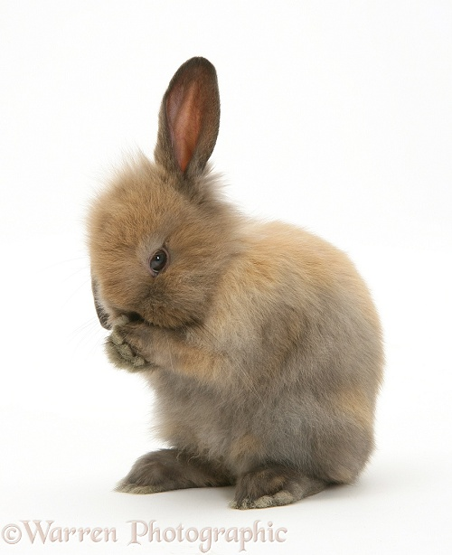 Young brown Lop rabbit, white background
