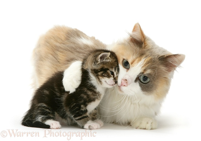 Mother cat and kitten, white background