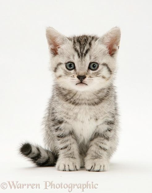 Cute White Shorthair Cat