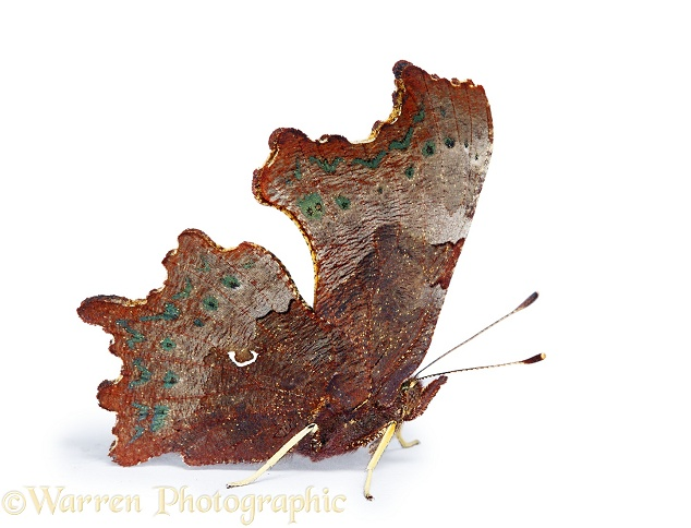Comma Butterfly (Polygonia c-album).  Europe, Asia and N. America, white background