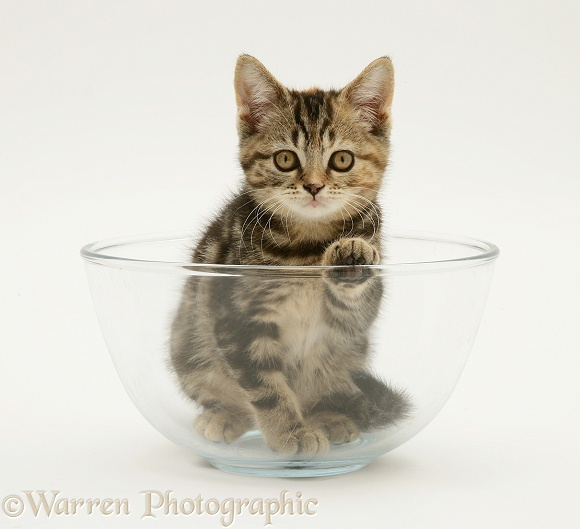 Tabby kitten in a glass bowl, white background
