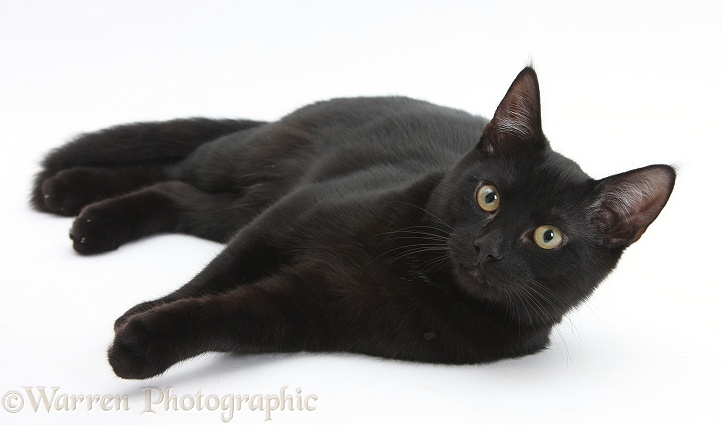 Black male cat, Joey, 6 months old, white background