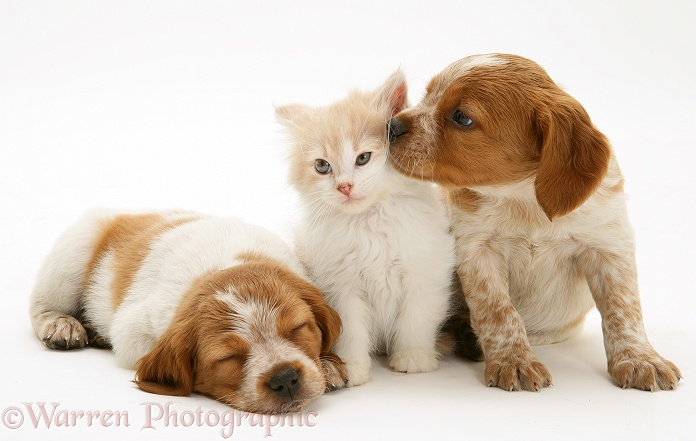 Ginger-and-white Persian-cross kitten, Thomson, with two Brittany Spaniel pups, white background
