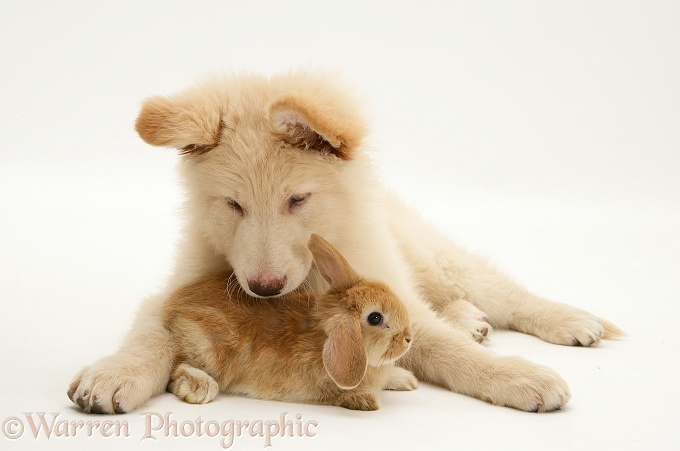 White German Shepherd Dog pup with baby Sandy Lop rabbit, white background