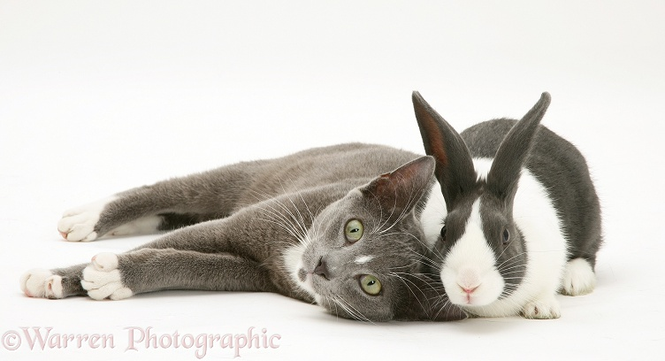 Blue-and-white Burmese-cross male cat, Levi, with blue Dutch rabbit, white background