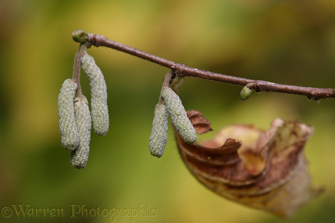 Hazel (Corylus avellana) next year's catkins in October