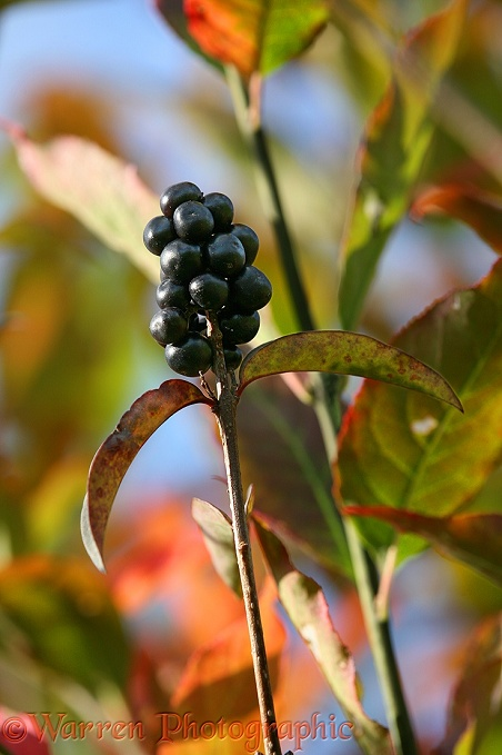 Privet (Ligustrum vulgare) berries in an autumn hedgerow