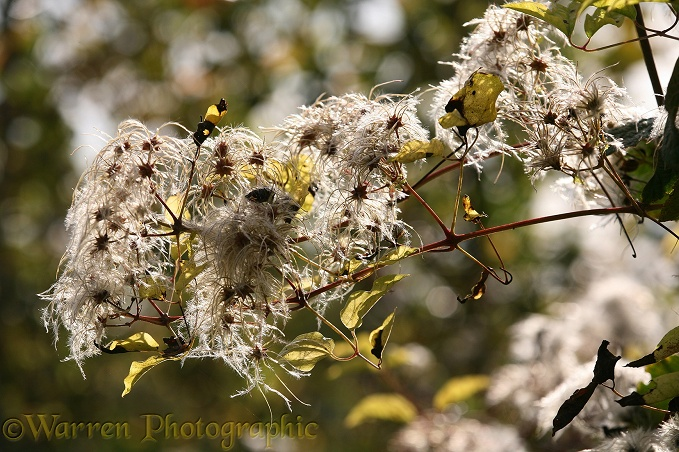 Wild Clematis or Old Man's Beard (Clematis vitalba) seed heads