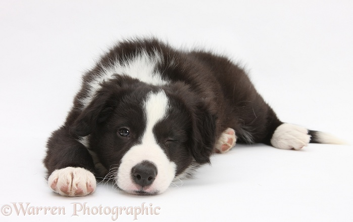 Black-and-white Border Collie pup, Gus, lying with his chin on the floor, white background