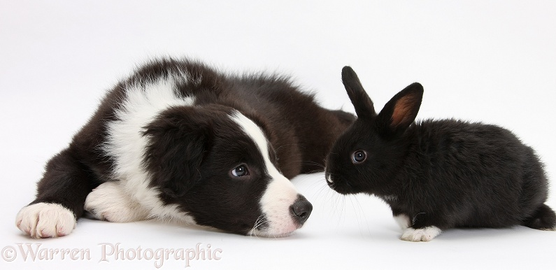 Black-and-white Border Collie pup, Gus, and baby black rabbit, white background
