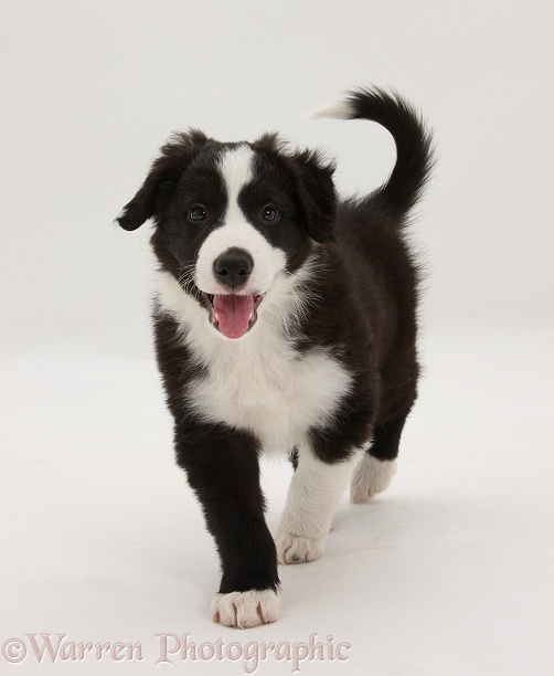 Black-and-white Border Collie pup, Gus, walking, white background