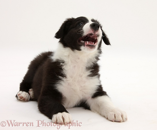 Black-and-white Border Collie pup, Gus, lying with head up and barking, white background