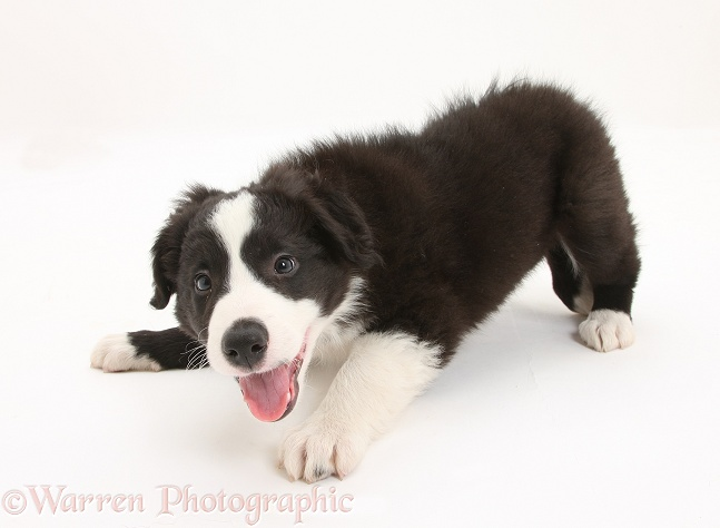 Black-and-white Border Collie pup, Gus, barking, white background