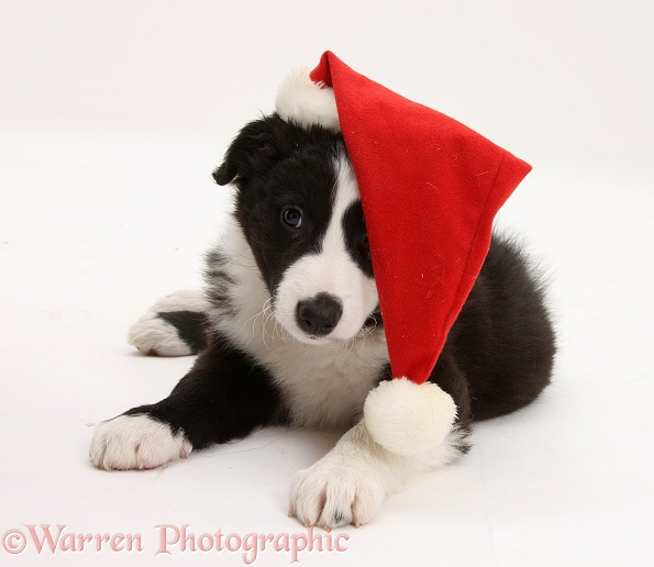 Black-and-white Border Collie pup, Gus, wearing a Father Christmas hat, white background
