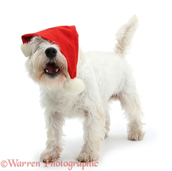 West Highland White Terrier, Betty, wearing a Father Christmas hat, white background